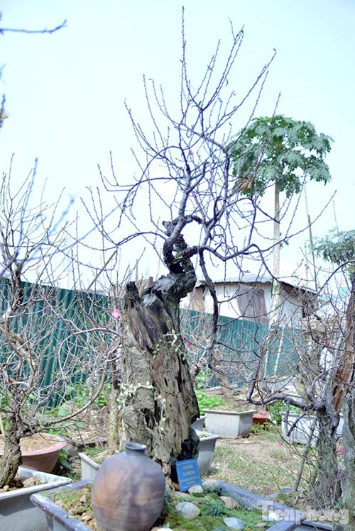 Vườn đào như 'củi mục' giá thuê chục triệu ở Hà thành - ảnh 9