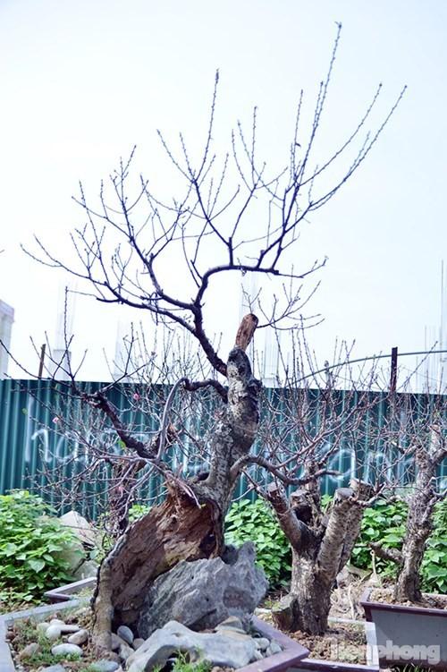 Vườn đào như 'củi mục' giá thuê chục triệu ở Hà thành - ảnh 13