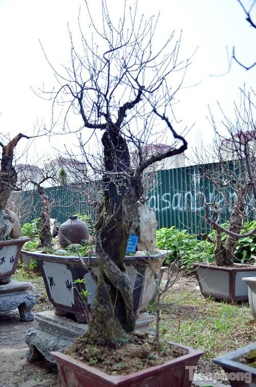 Vườn đào như 'củi mục' giá thuê chục triệu ở Hà thành - ảnh 14
