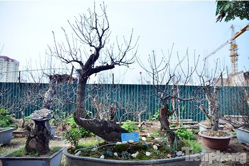 Vườn đào như 'củi mục' giá thuê chục triệu ở Hà thành - ảnh 11