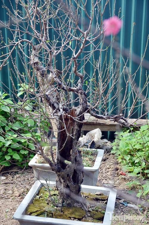 Vườn đào như 'củi mục' giá thuê chục triệu ở Hà thành - ảnh 6