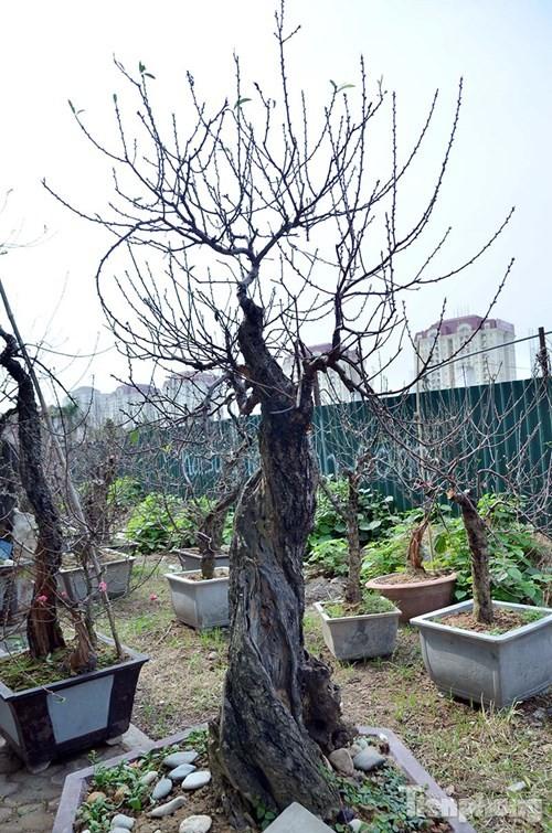 Vườn đào như 'củi mục' giá thuê chục triệu ở Hà thành - ảnh 4