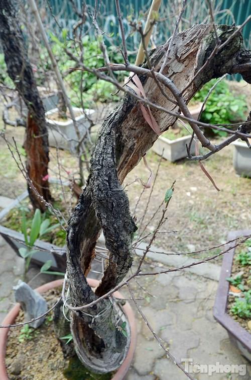 Vườn đào như 'củi mục' giá thuê chục triệu ở Hà thành - ảnh 5
