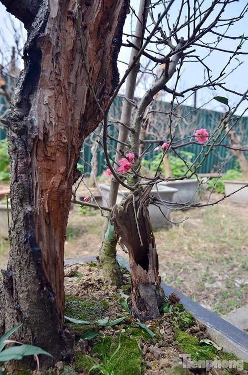 Vườn đào như 'củi mục' giá thuê chục triệu ở Hà thành - ảnh 7