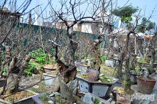 Vườn đào như 'củi mục' giá thuê chục triệu ở Hà thành - ảnh 1