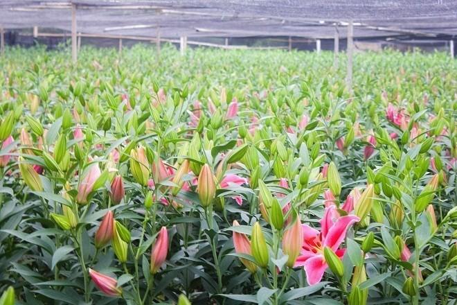 Hoa ly nở sớm, nhà vườn lo mất tết