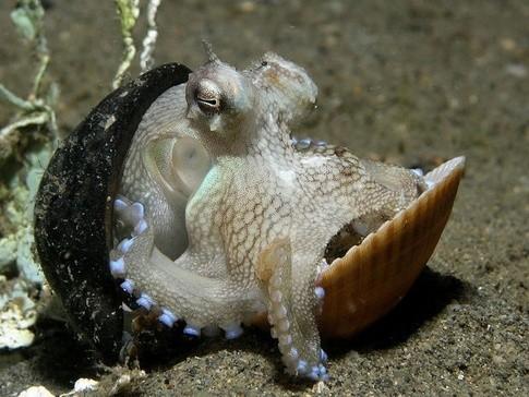 Một con bạch tuộc sống trong vỏ sò.