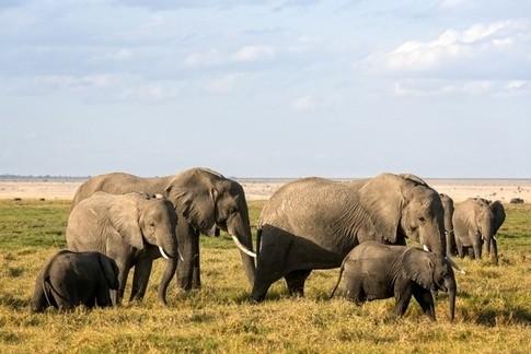 Đàn voi Châu Phi với con cái đầu đàn.
