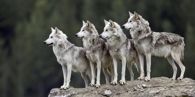 Bầy sói với những thành viên hiểu luật và chơi đúng luật.