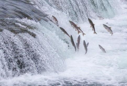 Cá hồi vượt thác để sinh sản thế hệ tiếp theo.