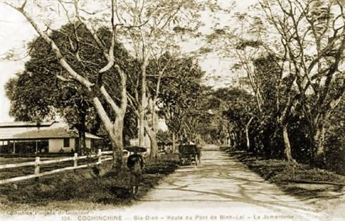 Hàng cây phượng vỹ trên đường đến cầu Bình Lợi vào đầu thế kỷ 20. Đây cũng là đường Thiên lý Bắc Nam trước thập niên 1950 – Ảnh tư liệu của nhiếp ảnh gia Tam Thái