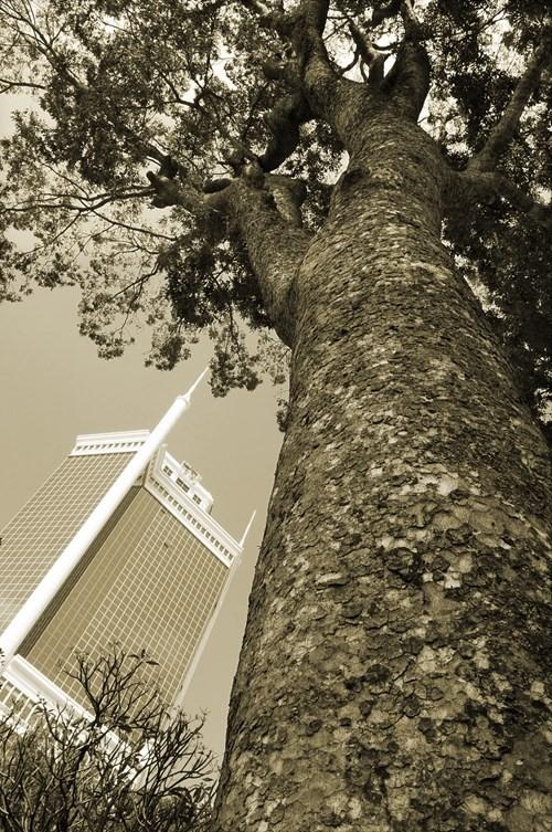 Cây xà cừ trên đường Tôn Đức Thắng. Ảnh chụp năm 2013 - Ảnh: Tam Thái