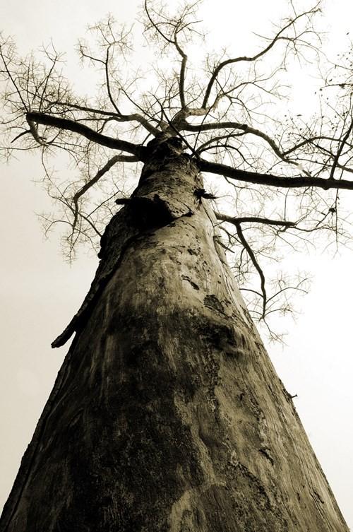 : Đại thụ chùa Hạnh Phú, quận 12. Năm 2012 đã không còn vì nhường đất cho dự án ven sông. Ảnh chụp năm 2000 - Ảnh: Tam Thái