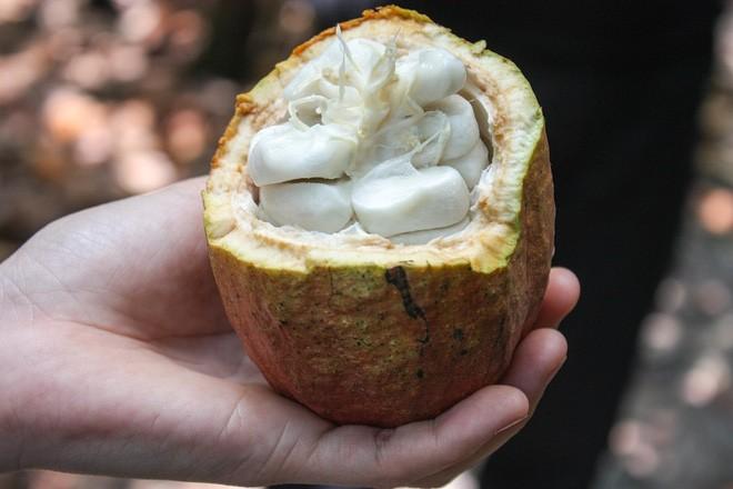 Chocolate Marou nổi tiếng thế giới không chỉ bởi vị thơm ngon đặc biệt là nguyên chất của nó, mà bởi quá trình sản xuất hoàn toàn được thực hiện thủ công. Sau khi thu hoạch cacao, nhân công sẽ tách quả để lấy nhân phía trong. Ảnh: oivietnam.