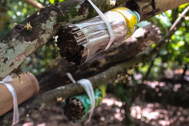 Người dân dùng chai nhựa khoét đuôi có chứa lá khô và mỡ vịt để thu hút kiến và các côn trùng phá hoại trên cây.