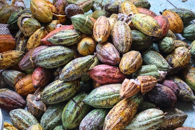 Khi chín, quả cacao có rất nhiều màu sắc bắt mắt. Ảnh: RiceCreative.