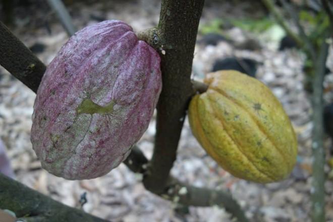 Vincent Marou - người đồng sở hữu thương hiệu Marou Chocolate - cho biết, thời gian để đậu quả là 100 ngày sau khi cây ra hoa. Những cây được trồng tại Việt Nam cho quả quanh năm. Ảnh: HCMlife.