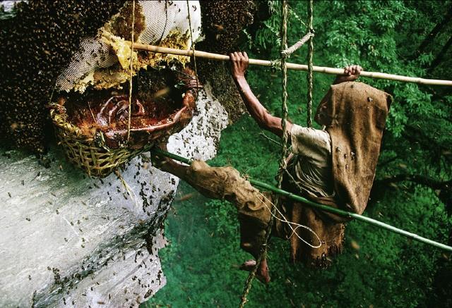 Khi tổ bị tấn công, những con ong sẽ trở nên vô cùng hung dữ. Chúng bủa ra xung quanh, bao vây kẻ phá hoại. Người lấy mật ong cần mặc bộ quần áo đặc biệt để bảo vệ cơ thể trước cơn thịnh nộ của bầy ong. Tuy nhiên, nhiều thợ lấy mật vẫn chỉ mặc trên mình những bộ quần áo bình thường trong quá trình khai thác mật của loài ong lớn nhất thế giới.