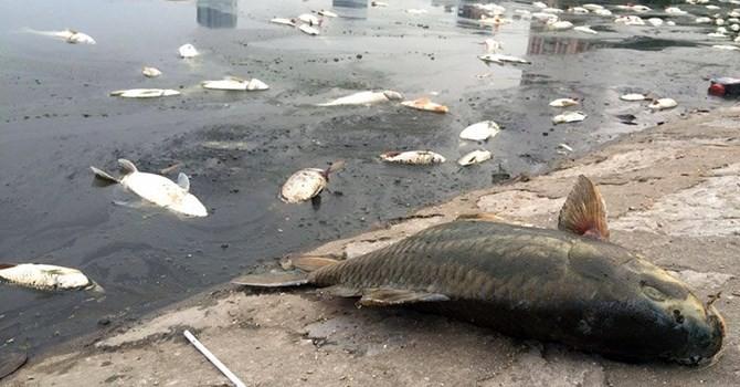 Hà Nội: Cá chết bất thường nổi trắng hồ Hoàng Cầu
