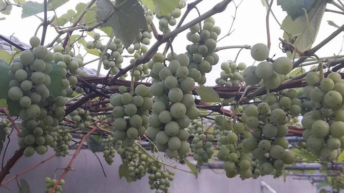trồng nho sân thượng, trồng nho trên sân thượng, giàn nho, giàn nho trên sân thượng, nho Pháp