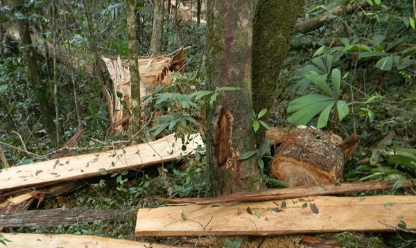 """Lộ diện chủ mưu """"tập đoàn"""" phá rừng pơ mu xuyên quốc gia"""