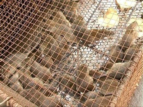 Săn chuột Đồng Tháp Mười - ảnh 2