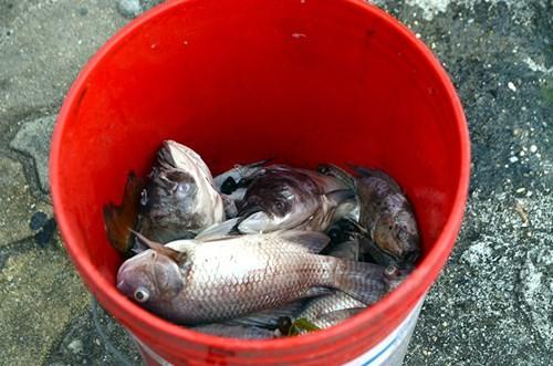 Cá chết bất thường nổi trắng ven Hồ Tây - ảnh 11