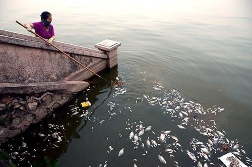 Cá chết bất thường nổi trắng ven Hồ Tây - ảnh 9