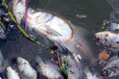 Cá chết bất thường nổi trắng ven Hồ Tây - ảnh 3