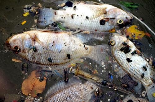 Cá chết bất thường nổi trắng ven Hồ Tây - ảnh 7