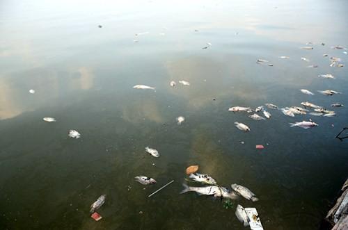 Cá chết bất thường nổi trắng ven Hồ Tây - ảnh 8