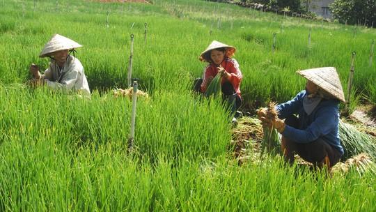 Nông dân Đà Lạt phấn khởi vì giá rau tăng cao.