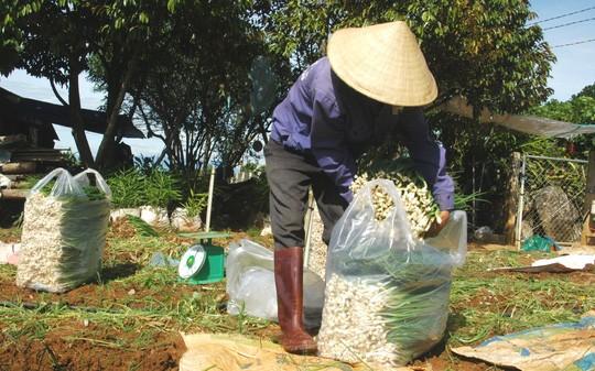 Lo ngại giá rau tăng, nhiều doanh nghiệp sẽ hóa trang rau Trung Quốc thành ra Đà Lạt.
