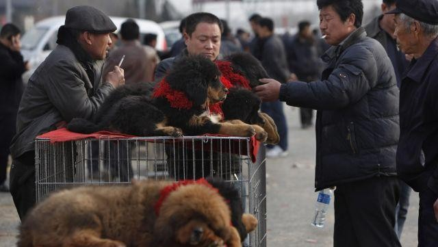 Hàng ngàn con chó ngao Tây Tạng thả rông và sự suy thoái của một thú vui vương quyền ở Trung Quốc - Ảnh 3.