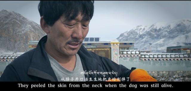 Hàng ngàn con chó ngao Tây Tạng thả rông và sự suy thoái của một thú vui vương quyền ở Trung Quốc - Ảnh 4.