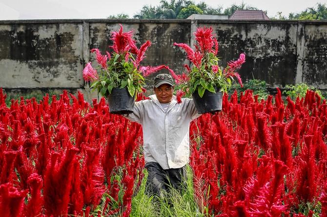 Làng hoa ở Sài Gòn hối hả vào vụ Tết