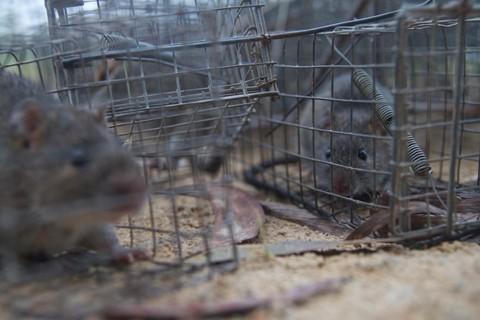 Theo chân thợ bẫy chuột không cần mồi nhử ở Đồng Tháp Mười - ảnh 6