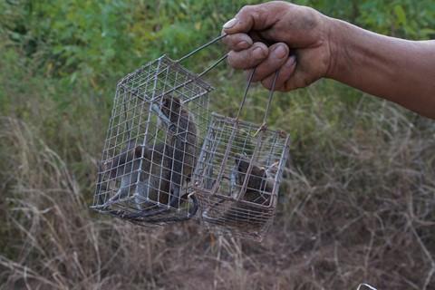 Theo chân thợ bẫy chuột không cần mồi nhử ở Đồng Tháp Mười - ảnh 7