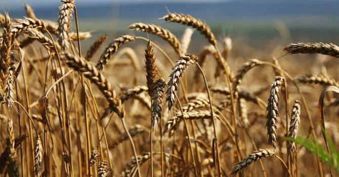 Nga tính tăng xuất khẩu ngũ cốc gấp 4-6 lần tới UAE