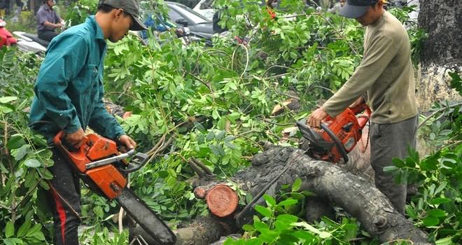 """Phó thủ tướng: """"Xử lý nghiêm vụ chặt thay thế cây xanh Hà Nội"""""""