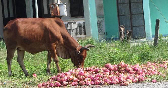 Nông sản đổ bỏ, không thể trách nông dân