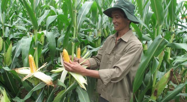 Trồng ngô biến đổi gen: Doanh nghiệp chia sẻ lợi ích với nông dân?