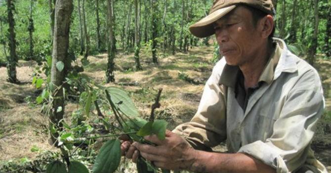 Giang hồ ép nông dân trồng tiêu nộp tiền bảo kê