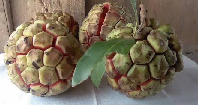 Na rừng nặng 5 kg giá 500.000 đồng ở Sơn La