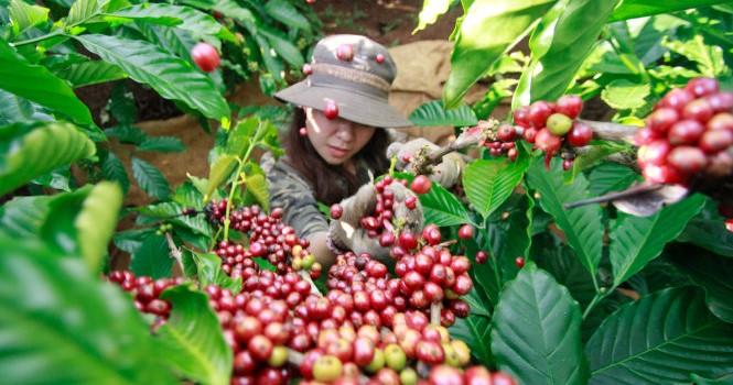 Dùng tinh chất cà phê: Phải mạnh tay xử lý
