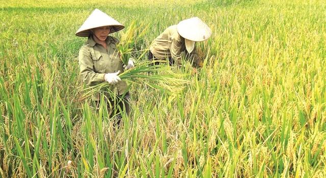 Sao gạo Việt cứ mãi đi trước về sau?