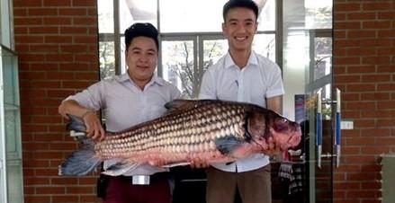 """Cá Hô hơn 30kg """"hàng hiếm"""" phục vụ dân Hà thành sành ăn"""