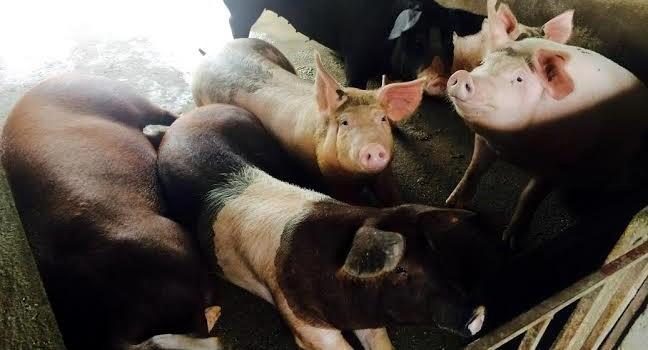 Lợn giun quế ăn Tết: Đặt trước 4 tháng, cử người thăm nuôi