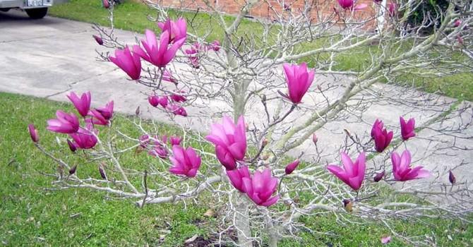 Xuất ngoại săn cây mộc lan 3 mét, hoa như bàn tay chơi tết