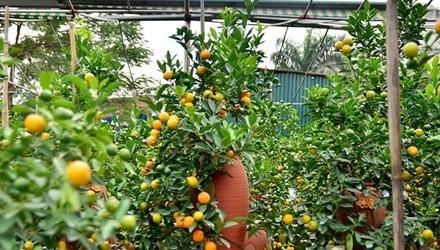Hàng độc quất bonsai giá chục triệu cho thuê chơi Tết